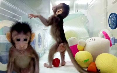 Nascem os primeiros primatas clonad...